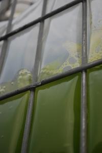 Cellana KDF algae in mid scale production tall