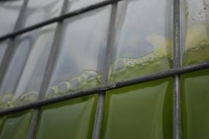 Cellana KDF algae in mid scale production2